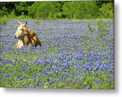 Cow Metal Print featuring the photograph Single Cow Resting In A Field Of Texas by Zview