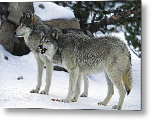 Snarling Metal Print featuring the photograph Two Wolves by Judilen