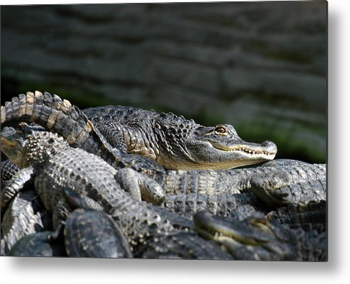 Alligator Metal Print featuring the photograph Watchfull Eye by Anthony Jones