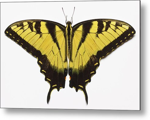 White Background Metal Print featuring the photograph Western Tiger Swallowtail Butterfly by Don Farrall