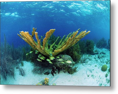 70007084 Metal Print featuring the photograph Elkhorn Coral by Hans Leijnse