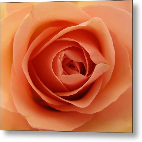 Rose Metal Print featuring the photograph Rose by Daniel Csoka