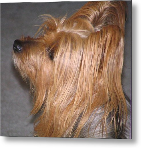 Dogs Metal Print featuring the photograph Scruffy by Peggy Holcroft