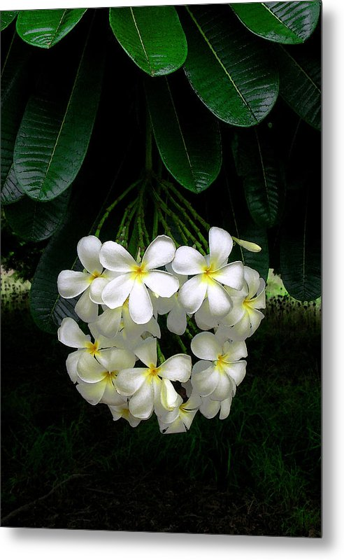 Hawaii Iphone Cases Metal Print featuring the photograph Kawela Plumeria by James Temple