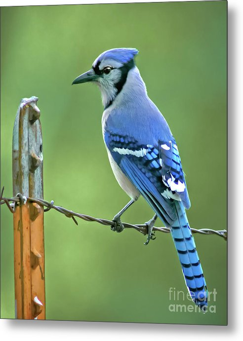 Blue Jay On The Fence by Robert Frederick