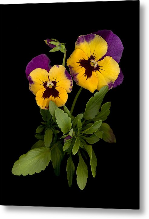 Pansy Metal Print featuring the photograph Bright Shinny Faces by Sandi F Hutchins