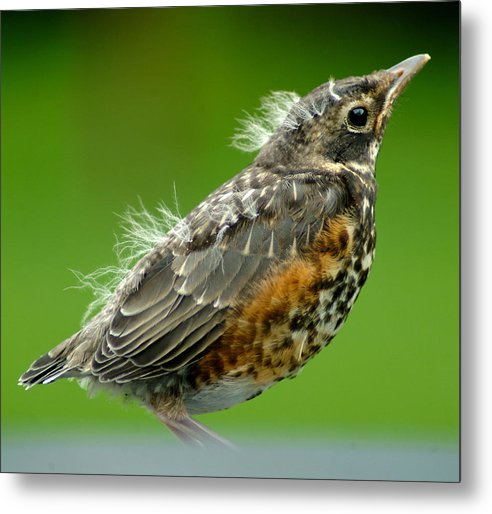 Robin Metal Print featuring the photograph 051811-74 by Mike Davis