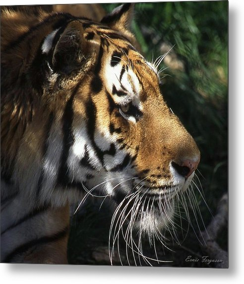 Animals Metal Print featuring the photograph Big Cat No 60 by Ernie Ferguson