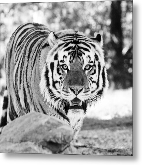 Tiger Metal Print featuring the photograph His Majesty by Scott Pellegrin