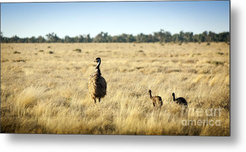 Animal Metal Print featuring the photograph Emu Chicks by Tim Hester