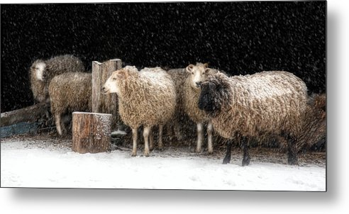 Sheep Lamb Metal Print featuring the photograph A Stitch In Time by Robin-Lee Vieira