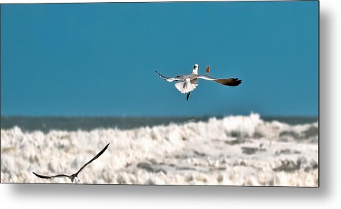 Seagulls Metal Print featuring the photograph Cracker Tracker by DigiArt Diaries by Vicky B Fuller