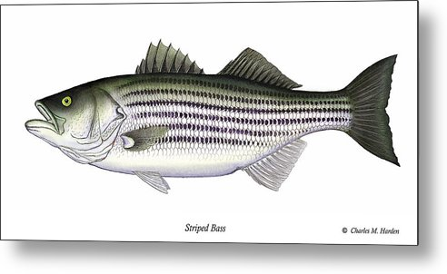 Striped Bass Art Metal Print featuring the painting Striped Bass by Charles Harden