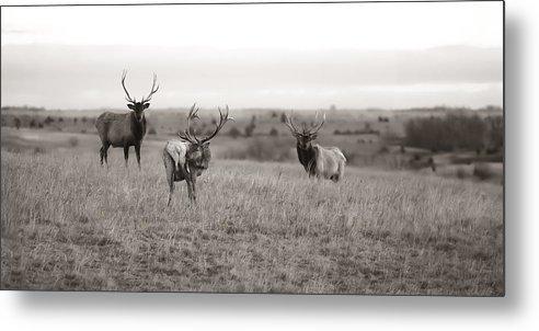 Bull Elk Art Prints Photographs Metal Print featuring the photograph Wildlife Old School by Garett Gabriel