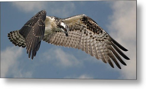 Osprey Metal Print featuring the photograph Osprey Flight by Larry Linton