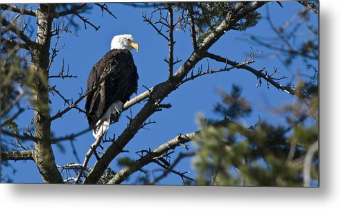 Chad Davis Metal Print featuring the photograph American Bald Eagle by Chad Davis