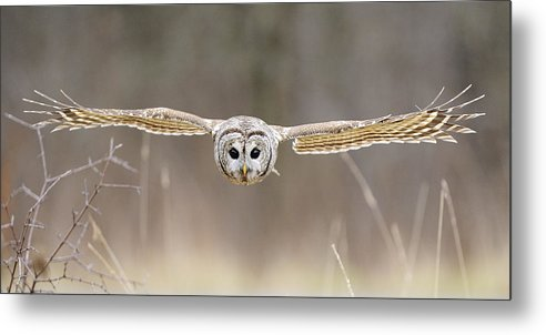 Barred Metal Print featuring the photograph Barred Owl In Flight by Scott Linstead