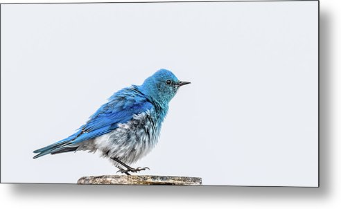 Bluebird Metal Print featuring the photograph Bluebird Dances A Spring Jig by Yeates Photography