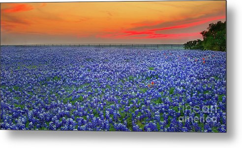 Texas Bluebonnets Metal Print featuring the photograph Bluebonnet Sunset Vista - Texas Landscape by Jon Holiday