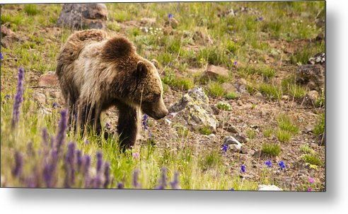 Grizzly Bear Metal Print featuring the photograph Grizzly Hill by Chad Davis