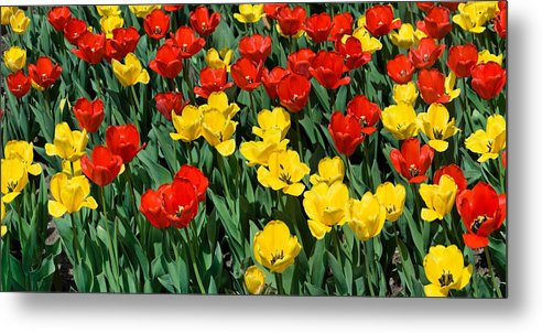 Red Metal Print featuring the photograph Red And Yellow Tulips Naperville Illinois by Michael Bessler