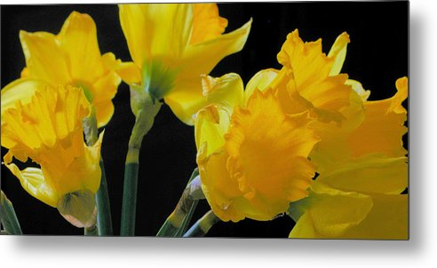 Daffodils Metal Print featuring the photograph Spring by Robert Bissett