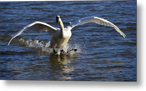 Swans Metal Print featuring the photograph Lake Logan Landing by Brian Stevens
