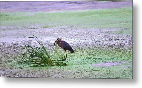 Great Blue Heron Metal Print featuring the photograph Dinner Time by Jack Foley