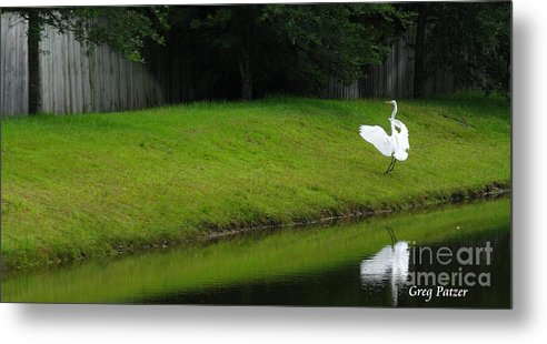 Art For The Wall...patzer Photography Metal Print featuring the photograph Egret Dance by Greg Patzer