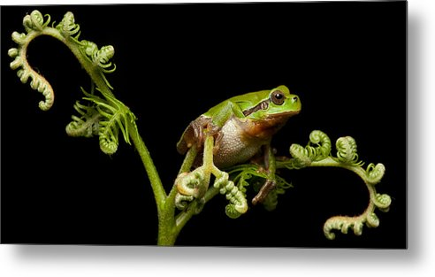 Tree Frog Metal Print featuring the photograph Tree Frog by Dirk Ercken