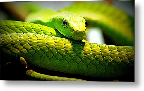 Nature Metal Print featuring the photograph Green Snake by Greg Thiemeyer