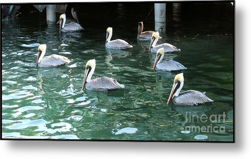 Marine Metal Print featuring the photograph Pelican Ballet by Claudette Bujold-Poirier