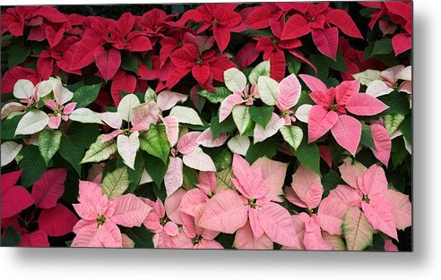 Display Of Multi Colored Poinsettias Metal Print
