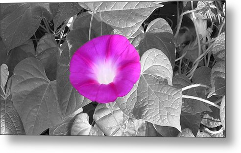 Pink Morning Glory Railroad Vine Plant Vines Metal Print featuring the photograph Glory Pink by Lindsay Clark