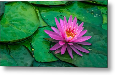 Aquatic Metal Print featuring the photograph Lotus by Brian Stevens