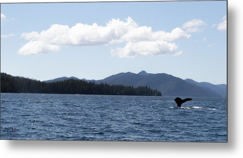 Whale Tail Metal Print featuring the photograph Fishing With The Whales by Catherine McIntosh