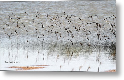 Sand Pipers In Flight Metal Print featuring the photograph Sand Pipers In Flight by Tom Janca