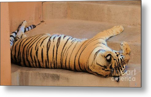 Tiger Metal Print featuring the photograph All Tigered Out by George Sylvia