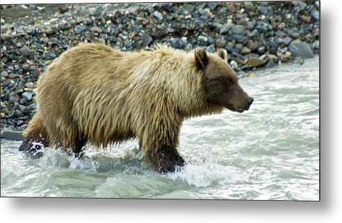 Alaska Metal Print featuring the photograph Grizzly Sow In Denali by Jim and Kim Shivers