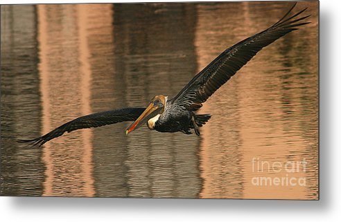 Pelican Metal Print featuring the photograph Brown Pelican On A Sunset Flyby by Max Allen