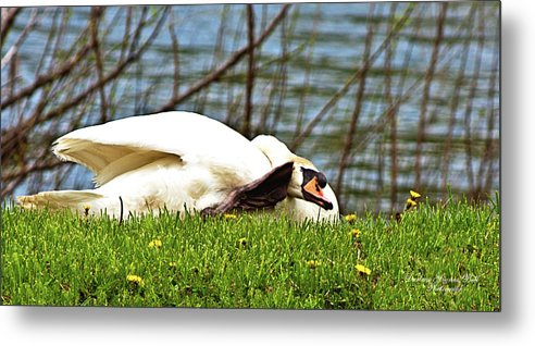 Birds Metal Print featuring the photograph Itchy Swan by Darlene Bell