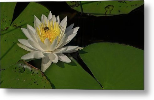 Flower Metal Print featuring the photograph Bee In Water Lily by Steve DaPonte