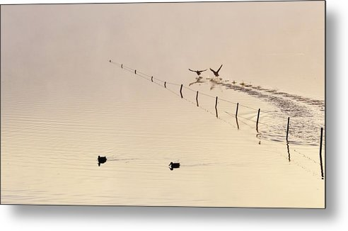 Ducks; Swimming; Pond; Morning Light; Birds; Early; Fog; Background; Fence; Swartland; South Africa; Landscape; Metal Print featuring the photograph Morning Light.. by Werner Lehmann