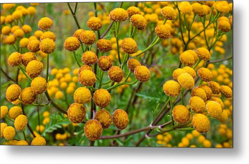 Naturealm Metal Print featuring the photograph Common Tansy by Claus Siebenhaar