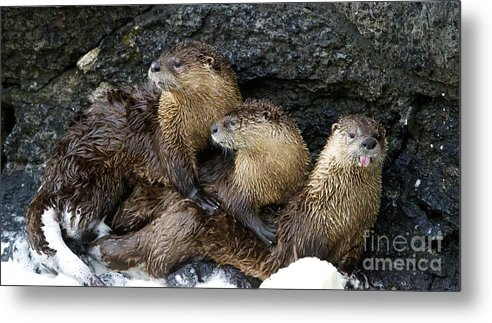 Otter Metal Print featuring the photograph River Otter Trio  #0922 by J L Woody Wooden