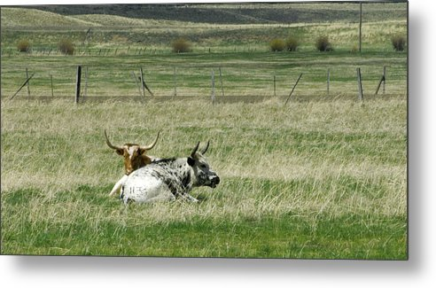 Steer Metal Print featuring the photograph By The Horns by Sara Stevenson
