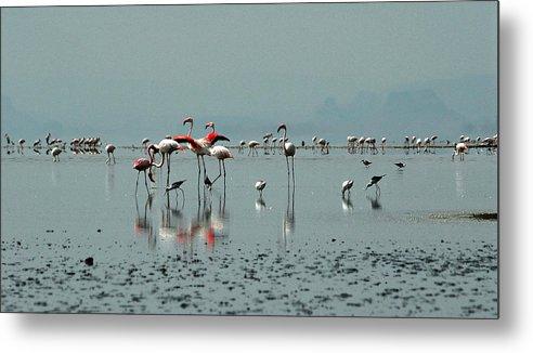 Flamingos Metal Print featuring the photograph Flamingos In Magadi by Chris Minihane