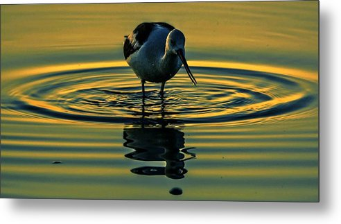 Bird Metal Print featuring the photograph Gold Pond Avocet by John R Williams