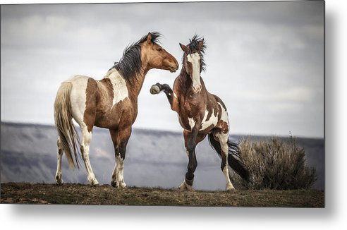 The Threat Metal Print featuring the photograph The Threat by Wes and Dotty Weber