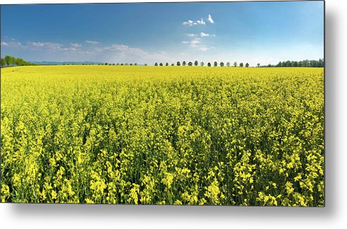 Canola Metal Print featuring the photograph Yellow Canola Field And Blue Sky Spring Landscape by Matthias Hauser